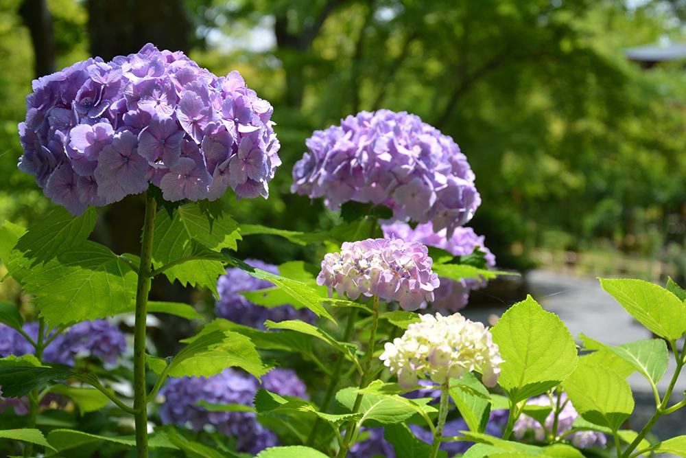 天龍寺の紫陽花
