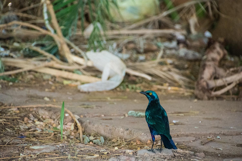 スーダンの鳥