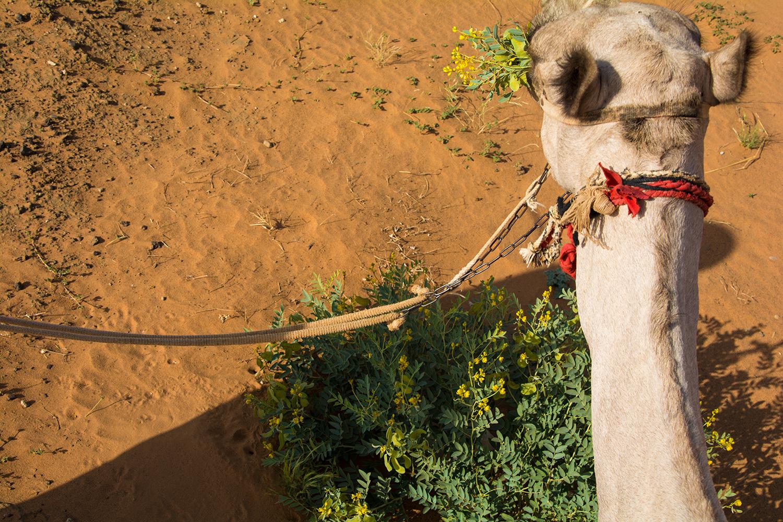 メロエで乗ったラクダ