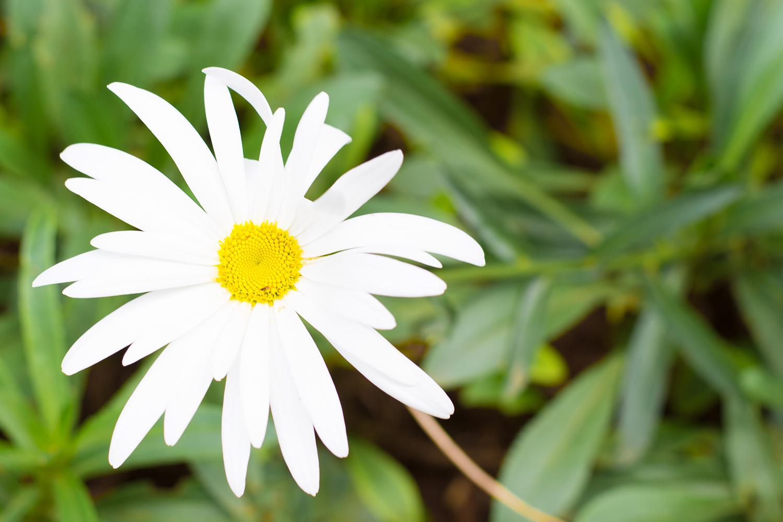 アディスアベバに咲く花