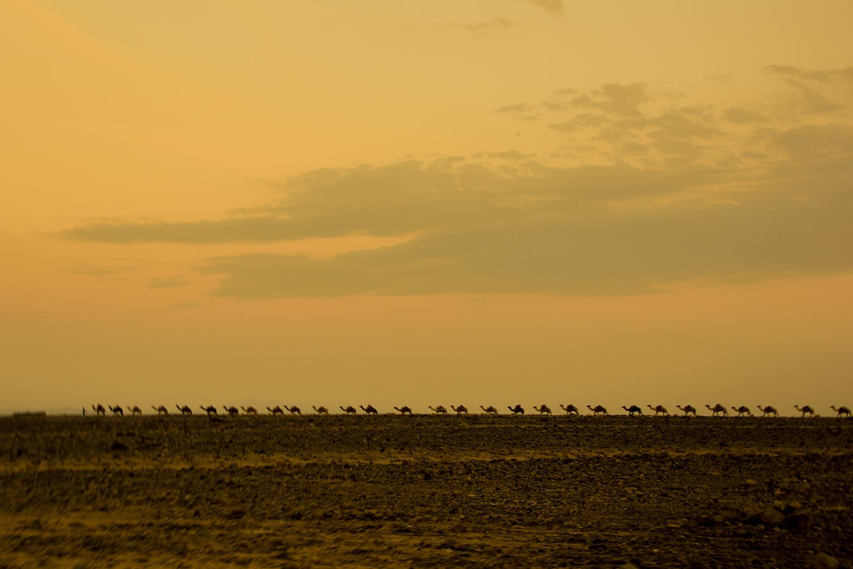 ラクダのキャラバン