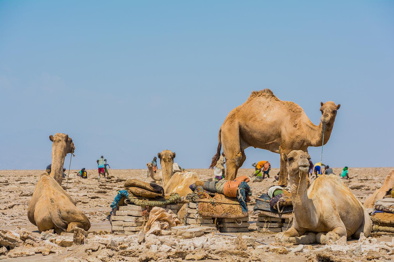 アサレ湖の塩の採掘