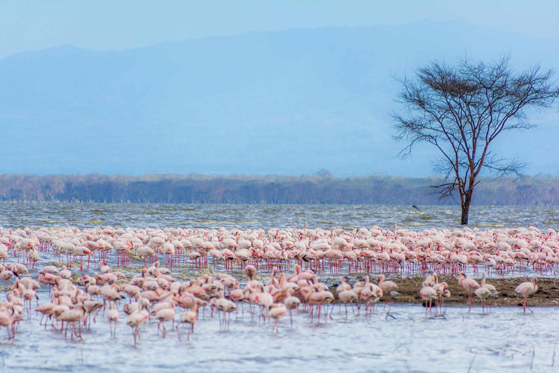 ナクル湖のフラミンゴ
