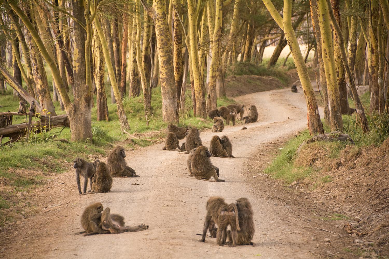 ヒヒの群れ