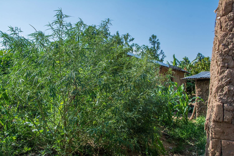 ピグミーのマリファナ畑