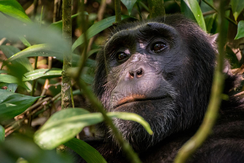 チンパンジートレッキング