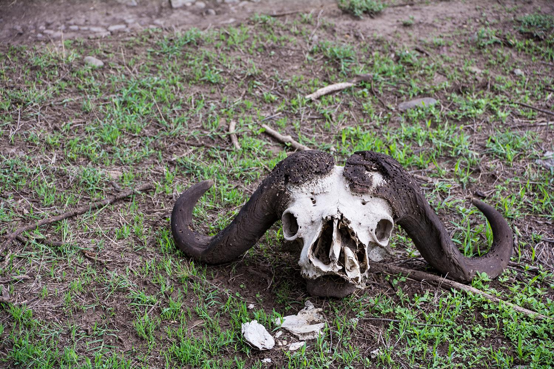バッファローの骨