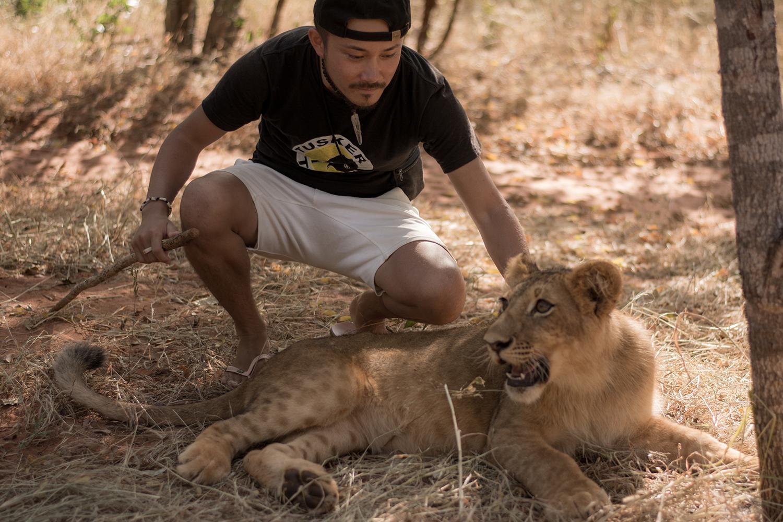 ライオンと戯れる