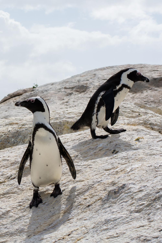ケープタウンのペンギン