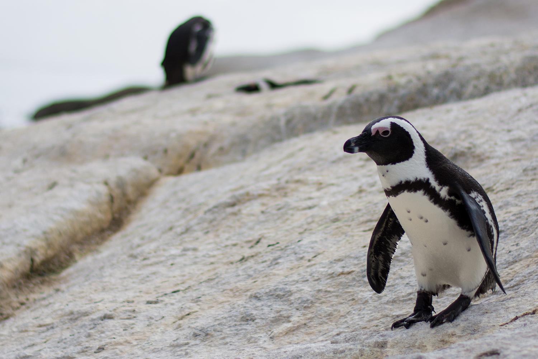 南アフリカのペンギン