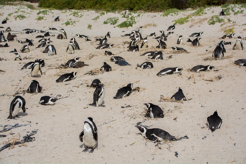 ボルダーズビーチのペンギン