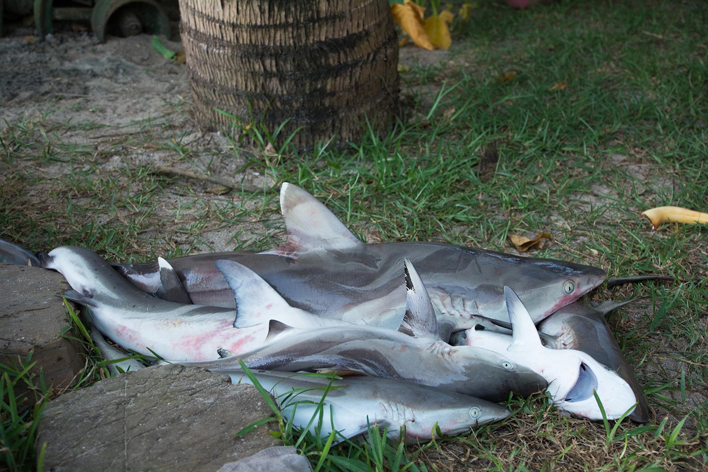 マダガスカルのサメ