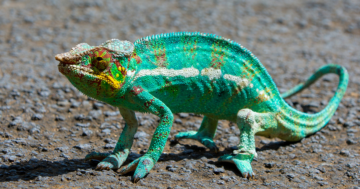 マダガスカルのカメレオン